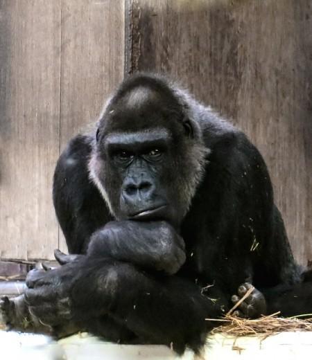 gorilla-674174_640