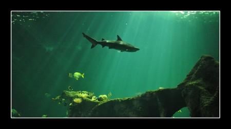 shark-697163_640