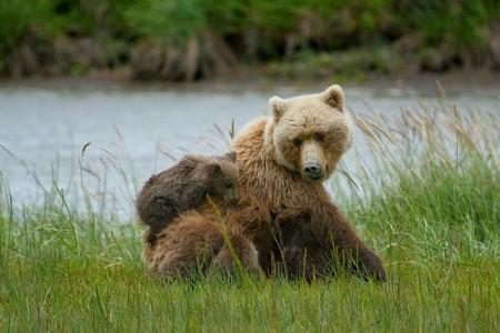 bears-885889_640